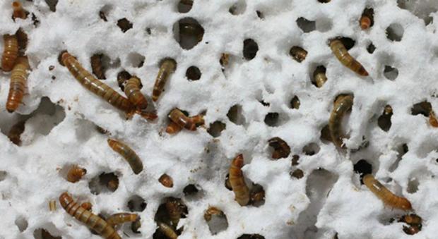 le larve che mangiano la plastica